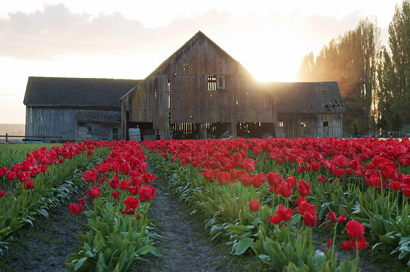 Skagit Valley Tulips Barn